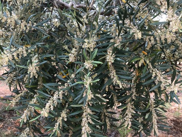 oliviers-fleur2