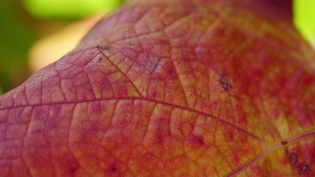 vigne-peau